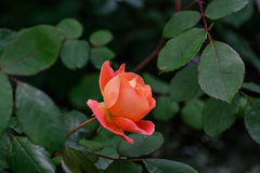 Rose orange Photographie stock libre de droits
