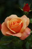 Rose orange avec le bourgeon Photo libre de droits