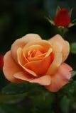 Rose orange avec le bourgeon Photo libre de droits