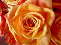 Rose orange background Royalty Free Stock Images