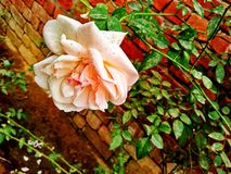 Rose orange blanche images stock