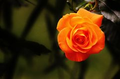 Rose, Orange, Blossom, Bloom Stock Photos