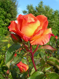 Rose orange dans le jardin Photo stock