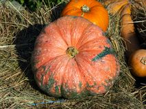 Rose and orange decorative pumpkins at straw in sunlight autumn background, selective focus, shallow DOF.  royalty free stock photo