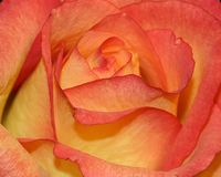 Rose orange et jaune Images stock