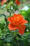 Rose, Orange, Flower, Blossom Royalty Free Stock Photos
