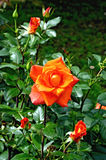 Rose orange on the flowerbed Royalty Free Stock Images