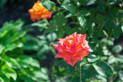 Rose orange flowers in a green garden. Natural flower background with a free space for text in the left side of the picture. Macro nature stock image