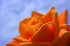 Rose, Orange, Flowers, Summer Stock Images