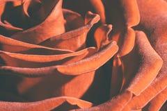 Rose orange Macro Photographie stock