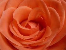 Rose, Orange, Pink, Flower Stock Photos