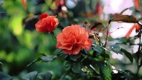 Rose orange près de la barrière décorative de fer banque de vidéos