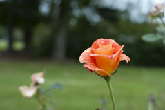 Rose. Orange rose situated at the edge of an open field in direct sunlight in contrast with tree line and shadows in the distance Royalty Free Stock Images