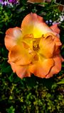 Rose. Orange, yellow , and peach color rose Stock Images