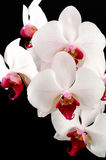 Rose orchid flower on black background. Detail stock photo