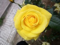 Yellow roses, wandering flowers, assassins, heart roses. Rose originated in China and has a long history of cultivation, rose in plant taxonomy is a rose family royalty free stock photos
