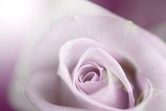 Rose pâle brouillée de pourpre, fond de vintage image stock