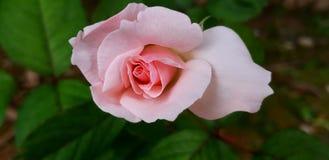 Rose pâle - ton rose photos stock