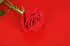 Rose på reden Arkivfoto