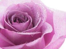 Rose púrpura Fotografía de archivo