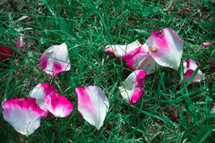 rose płatków Obrazy Stock