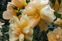 Rose Pale Golden Orange 2 Imágenes de archivo libres de regalías