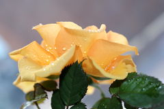 Rose. Pale orange rose with water drops stock photography