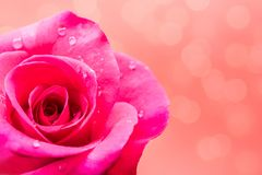 Rose para el día de tarjetas del día de San Valentín Fotos de archivo libres de regalías
