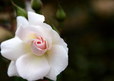 Rose parfaite Images stock