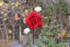 Rose pasada Imágenes de archivo libres de regalías