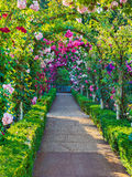 Rose passage. Arched passage decorated with climbing roses Royalty Free Stock Image