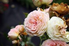 Rose, passant le temps Images libres de droits
