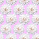 Rose Pattern blanche Belle fleur dans le jardin Backgroun floral Photo stock