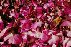 Rose pattern Royalty Free Stock Image