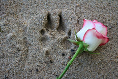 Rose beside a paw print in the sand. Pink rose beside a dog paw print in the beach sand Royalty Free Stock Photography