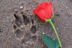 Rose beside a paw print in the sand. Red rose beside a dog paw print in the beach sand stock images