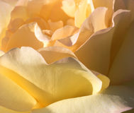 Rose of Peace Royalty Free Stock Image