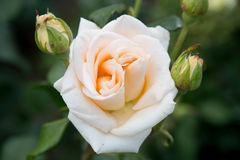 Rose peach color. He opening buds cream roses royalty free stock photography