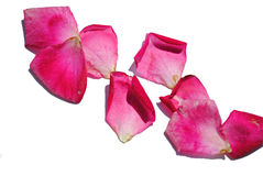 Rose Pedals Royalty Free Stock Photo