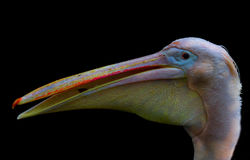 Rose pelikan portrait royalty free stock photos