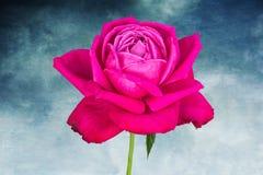 Rose pendant des vacances sur le fond de texture photo stock
