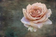 Rose pendant des vacances sur le fond de texture photographie stock libre de droits