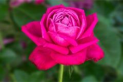 Rose pendant des vacances sur le fond de texture photos libres de droits