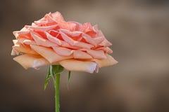 Rose pendant des vacances sur le fond de texture photographie stock