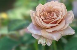 Rose pendant des vacances sur le fond de texture image libre de droits