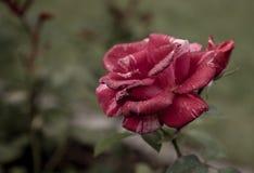 Rose pendant le matin Photographie stock libre de droits
