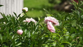 Rose peony bloom in green summer garden. Rose peony flower bloom in green summer garden stock video