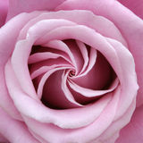 Rose Perfect Spiral. Close up of a rose bloom with petals curling open in a spiral arrangement Royalty Free Stock Image