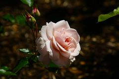rose perfection stock images