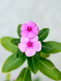 Rose periwinkle. Two pink rose periwinkle flowers Stock Images